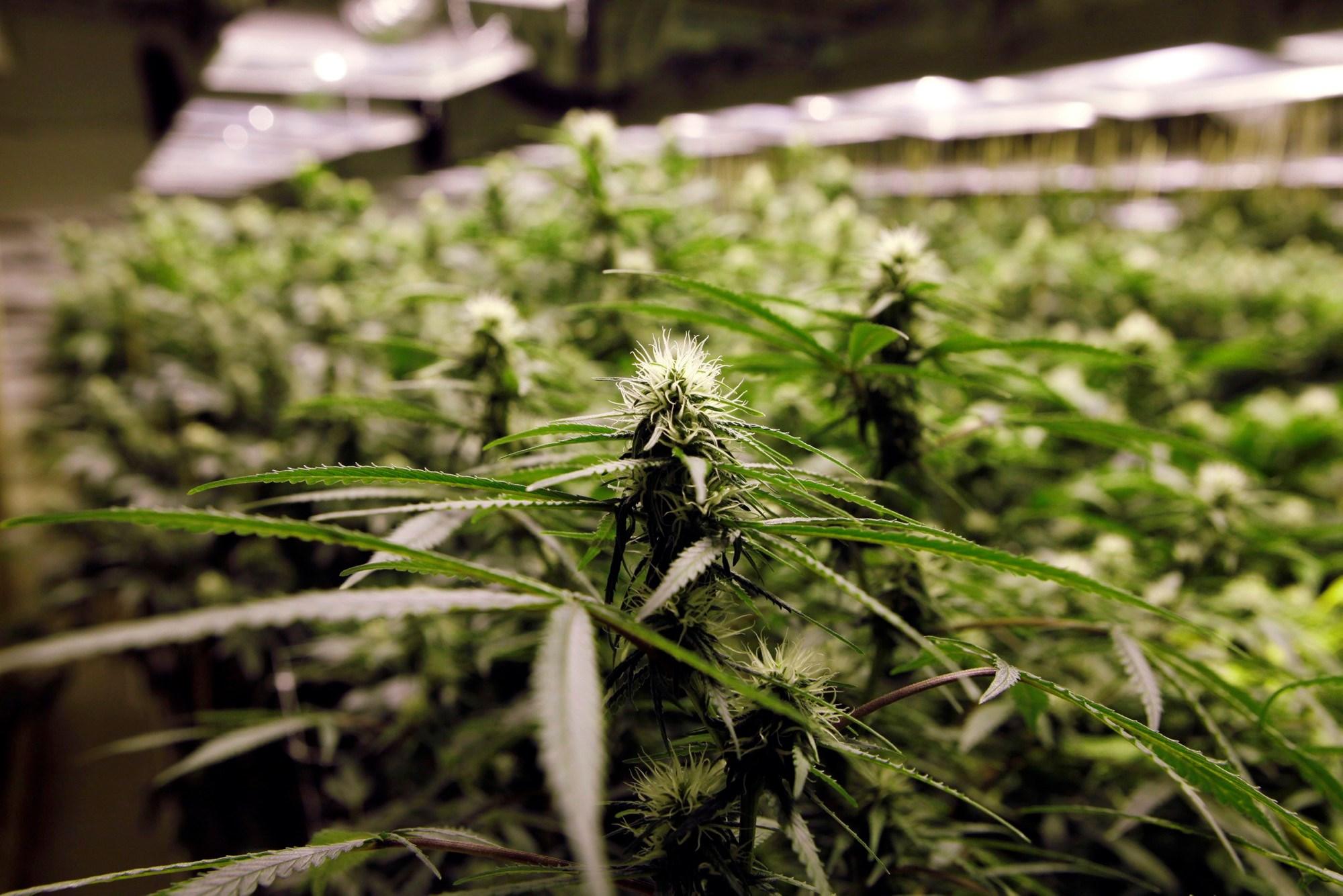 Cannabis store - KING'S GARDEN DESIO SHOP ONLINE