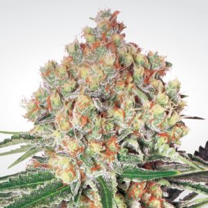 WAPPA AUTO BY PARADISE SEEDS